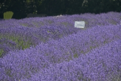 Field-Lavender-Sign-3702