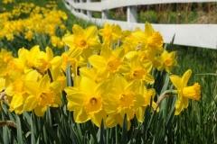 Flowers Daffodils Fence #3213