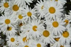 Flowers Daisies Lots #3214