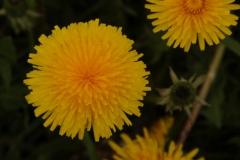 Flowers Dandelion #2384