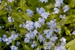 Flowers Forget Me Nots Garden #3562