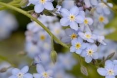 Flowers Forget Me Nots Garden (V) #3563