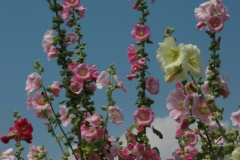 Flowers Hollyhocks 2 (v) #1265