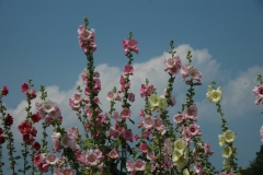Flowers Hollyhocks Blue Sky #961