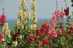 Flowers Hollyhocks Colourful #3222
