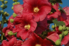 Flowers Hollyhocks Dark Pink (v) #1183