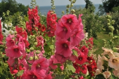 Flowers Hollyhocks Lots #3225