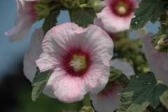 Flowers Hollyhocks Pink Bloom #1263