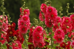 Flowers Hollyhocks Red Lots #3227