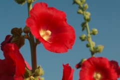 Flowers Hollyhocks Red (v) 1 #1076