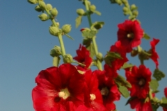 Flowers Hollyhocks Red (v) 2 #1184