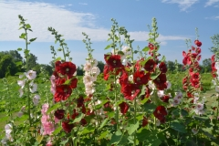 Flowers Hollyhocks Sky #3228