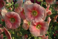 Flowers Hollyhocks Soft Pink #1101