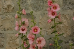 Flowers Hollyhocks Stone Wall (v) #1283