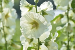 Flowers Hollyhocks White Closeup #3230