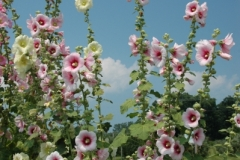 Flowers Hollyhocks (v) #1264