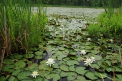 Flowers Lily Pad Marsh #1664