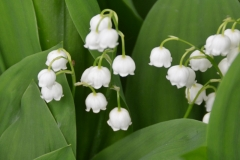 Flowers Lily of the Valley #3218