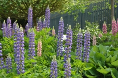Flowers Lupins Blue #3216
