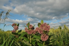 Flowers Milkweed Field #3232