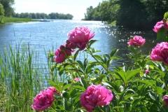 Flowers Peonies Black River #3146
