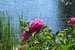 Flowers Peonies Black River (v) #3145