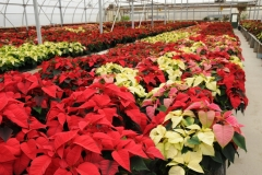 Flowers Poinsettia Garden Centre 2 #2256