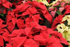 Flowers Poinsettia Garden Centre (v) #2257