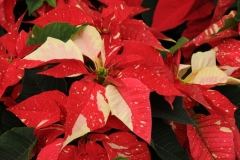 Flowers Poinsettia Red 1 #2259