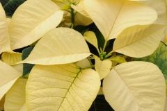 Flowers Poinsettia White 1 #2264