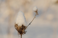 Flowers Queen Anns Lace Snow #3235