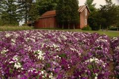 Flowers Rigde Road Petunias #1504