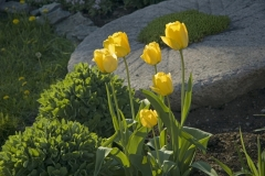 Flowers Tulips Yellow #944