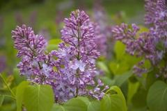 Lilacs Closeup #690