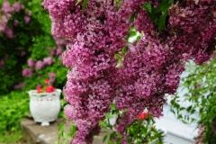 Lilacs Picton Macaulay House 2 #2571
