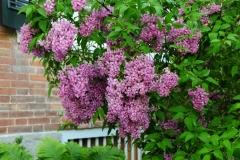 Lilacs Picton Macaulay House #2569