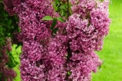 Lilacs Picton Macaulay House (v) #2570