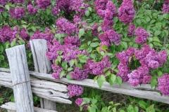 Lilacs Rail Fence #3289