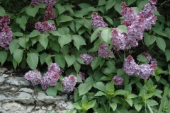 Lilacs Rock #1558