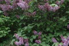 Lilacs Rock (v) #1559