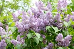 Lilacs Small Bee #3588
