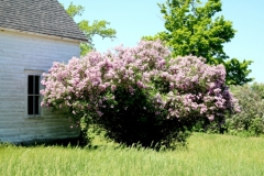 Lilacs Window #3590
