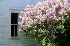 Lilacs Window Closeup #3589