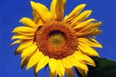 Sunflower #227