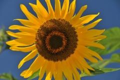 Sunflower Blue Sky #2860