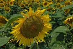 Sunflower Close-up #959