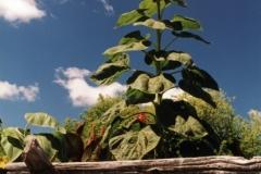 Sunflower Fence (v) #555