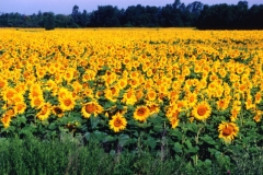 Sunflowers Field #225