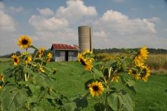 Sunflowers Silo #2863