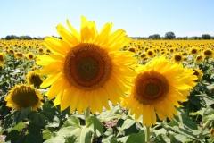 Sunflowers Two Field #3418